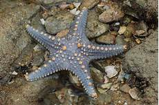 Pengertian Asteroidea Starfish Gambaran Ciri Ciri