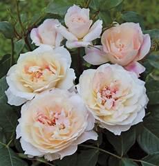 di masino fiori le piu e profumate mondo foto