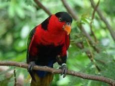 Mengenal Jenis Jenis Burung Berbulu Indah Beserta Gambarnya