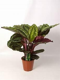 pflanzen dunkle räume 10 schattenpflanzen f 252 r die dunkelsten ecken zu hause