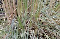 wann gräser schneiden gr 228 ser schneiden der richtige zeitpunkt f 252 r ziergr 228 ser