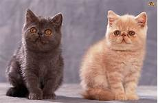 cat breed 10 of the friendliest cat breeds on the planet pets4homes