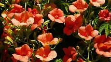 Fleurs Oranges En Forme De Trompette