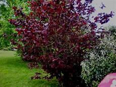 arbuste feuillage persistant corylus maxima purpurea