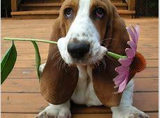 Basset Hound Puppies Photos,Breed Information,Dog Photos