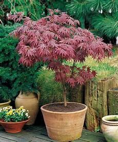erable nain du japon acer erable pourpre du japon arbuste d ornement jardin