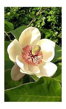 magnolia fiore magnoliales