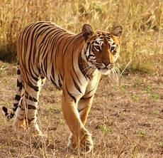 Gambar Harimau Terbaru Kumpulan Gambar