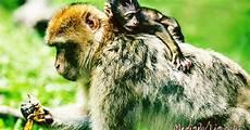 Cara Membuat Gambar Monyet Untuk Pemula Dan Contoh Gambar