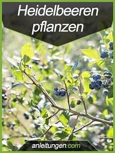 Anleitung Heidelbeeren Pflanzen Blaubeeren Pflanzen