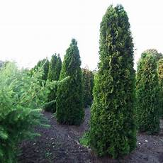 thuja occidentalis columna 21 best and slender evergreen trees images on