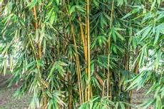 Bambus Braune Blätter - winterharter bambus 187 diese bambusarten k 246 nnen 252 berwintern
