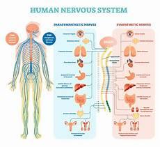 Human Nervous System Vector Illustration Diagram