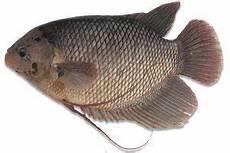 Cara Budidaya Ikan Gurame Dari Larva Mudah Bagi Pemula