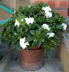 piante da appartamento con fiori bianchi gardenia jasmim do cabo sementes flor perfumada p