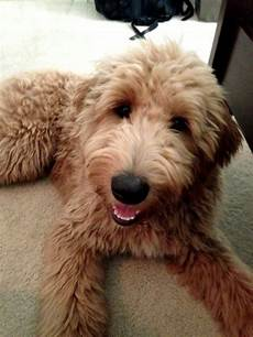 types of goldendoodle haircuts google search diy image result for types of goldendoodle haircuts goldendoodle haircuts goldendoodle grooming