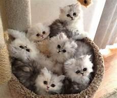 foto gatti persiani cuccioli gatto chinchilla caratteristiche