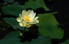 nelumbo lutea wikipedia