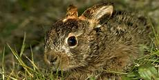 Ausmalbilder Junge Hasen Tierbabys Im Fr 252 Hling H 214 Rzu
