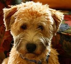 soft coated wheaten terrier haircut wheaten terrier my soft coated wheaten terrier soft coated wheaten terrier wheaten terrier wheaton terrier
