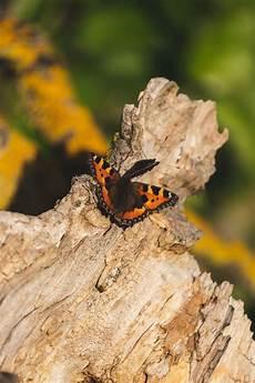 Malvorlagen Schmetterling Xing Kleiner Fuchs Schmetterling Maximilian Schwabenthan