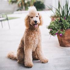 goldendoodle haircut my favorite dog doodle and best types of goldendoodle haircuts goldendoodle haircuts goldendoodle dog haircuts