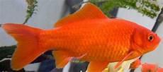 goldfisch haltung im teich goldfische im teich haltung und pflege teichratgeber