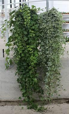 edera in vaso edera basket diam 18 lunghezza 180 cm piante verdi