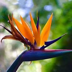 uccelli paradiso fiore 10 x nuovo strclizia reginae paradiso uccelli fiore semi