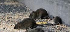 Ratten Im Garten Hausmittel Rattenfallen Und Gift Gegen