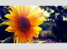 Sunflower Sunshine 4K HD Desktop Wallpaper for 4K Ultra HD