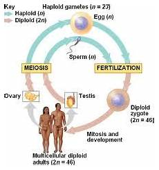 definition of sexual reproduction genetic engineering info