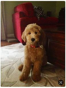 goldendoodle haircuts pets goldendoodle haircuts f1b 7 creative haircuts styles for goldendoodles with pictures goldendoodle advice