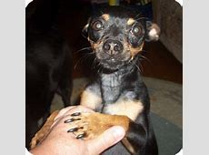 Scrappy   Adopted Dog   Duluth, MN   Miniature Pinscher