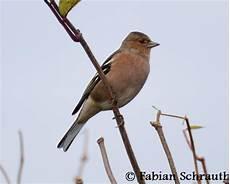 einheimische vögel im winter buchfink einheimische v 246 gel in deutschland