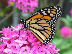 learn all about monarch butterflies for free at nay aug