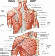 Shoulder Muscles Human Anatomia