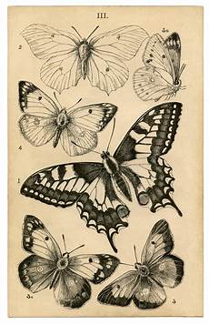 antique butterfly print history the graphics