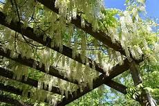 plantes grimpantes pour pergola ou tonnelle gamm vert