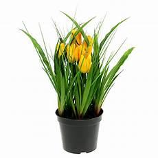 tulpen im topf in der tulpen im topf gelb 30cm kaufen in schweiz