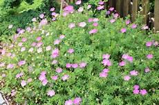 pflanzen niedrigere klassifizierungen storchschnabel geranium arten pflege gartendialog de