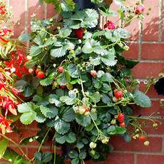 piante di fragole in vaso wall tower strawberry plants dobies