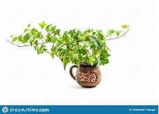 edera in vaso hedera helix pianta dell edera in vaso di fiore
