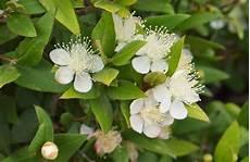 fiori di mirto mirto tarantino aromatiche mirto tarantino caratteristiche