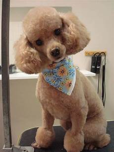 140 poodle haircuts your pet will definitely love