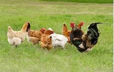 galline da cortile prodotto avicoli animali da cortile e selvaggina sav