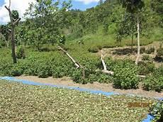 Kebun Nilam Indonesia Surga Nilam Di Latoma
