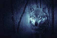 Blue Wolf Wallpaper