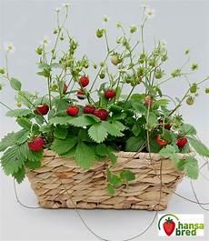balkon fensterbank erdbeere font erdbeeren bei baldur