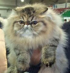 immagini di gatti persiani il gatto persiano